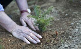 Sadzenie nowych drzewek choinkowych